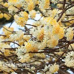 Edgeworthia chrysantha (Large Plant)