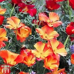 Eschscholzia 'Californica Apricot Flambeau'