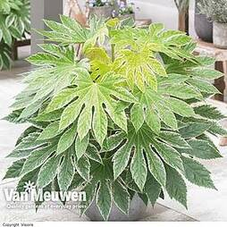 Fatsia 'Spiders Web'