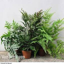 Fern Mix (House Plant)