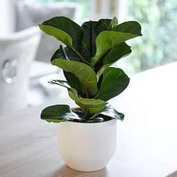 Ficus lyrata 'Compacta' (House Plant)