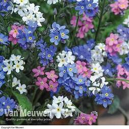 Forget-Me-Not 'Sylva Mixed' (Garden Ready)