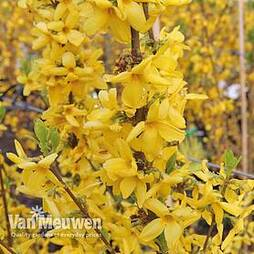 Forsythia x intermedia 'Goldrausch' (Large Plant)