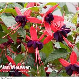 Fuchsia 'Lady Boothby' (Hardy)