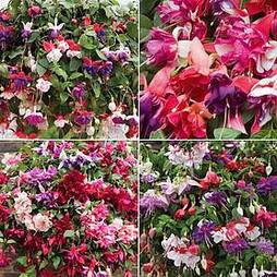 Fuchsia Saver Collection