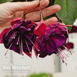 Fuchsia 'Purple Rain'