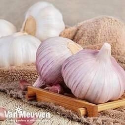 Garlic(Autumn) Eden Rose