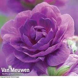 Geranium pratense 'Plenum Violaceum'