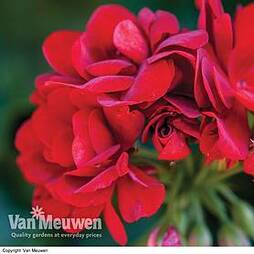 Geranium 'Red Sybil'