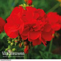 Geranium 'Power Red'