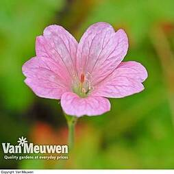 Geranium oxonianum 'Wargrave Pink'