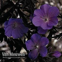 Geranium 'Purple Haze' (Seeds)