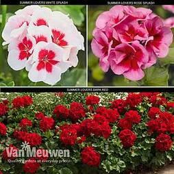 Geranium Summer Lovers Collection