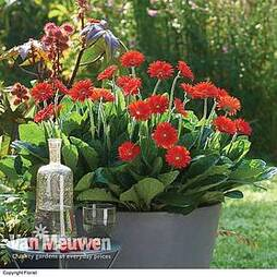 Gerbera 'Sweet Love'