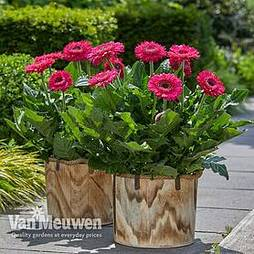 Gerbera jamesonii 'Bighorn' (Patio Series)