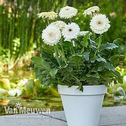 Gerbera jamesonii 'Glacier' (Patio Series)