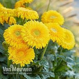 Gerbera 'Glorious Yellow' (Landscape Series)