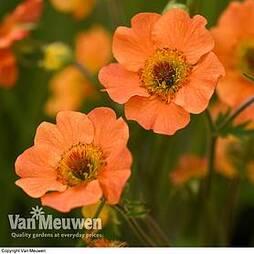Geum 'Totally Tangerine'