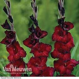 Gladiolus 'Black Jack'