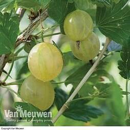Gooseberry 'Invicta'