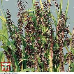 Ornamental Grasses Melica altissima atropurpurea