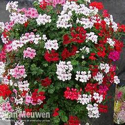 Geranium 'GeRainbow™ Mixed'