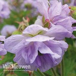 Geranium pratense 'Cloud Nine'