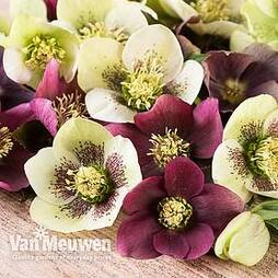 Hellebore x hybridus 'Mixed' (Lenten Rose)