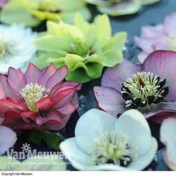 Hellebore 'Breeder's Mix'