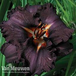Hemerocallis 'Black Magic'