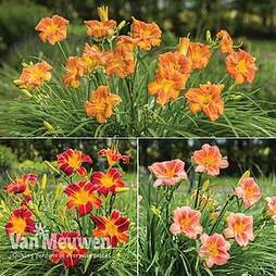 Hemerocallis 'Everyday Lily Series'