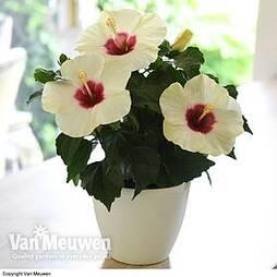 Hibiscus rosa-sinensis 'Adonicus White'