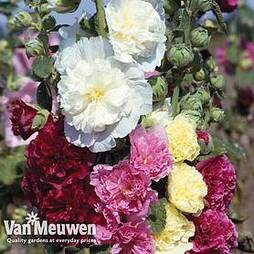 Hollyhock 'Chaters Doubles'