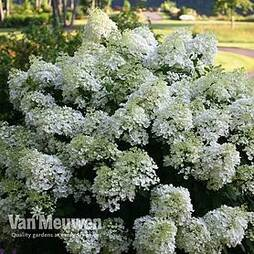 Hydrangea paniculata 'Bobo'