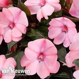 Busy Lizzie 'Sunpatiens Vigorous Rose Pink' (New Guinea)