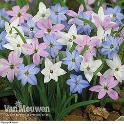 Ipheion 'Mixed'
