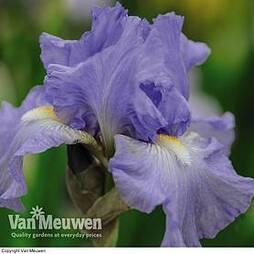 Iris 'Victoria Falls'