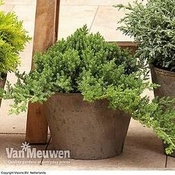 Juniperus communis 'Green Carpet'