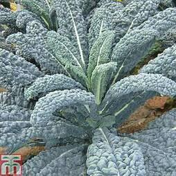 Kale 'Yurok' F1 Hybrid