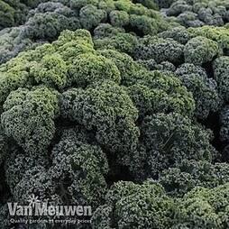 Kale 'Reflex'