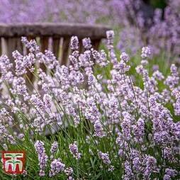 Lavender spicata 'Rosea'