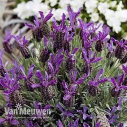Lavender 'Devonshire Compact'