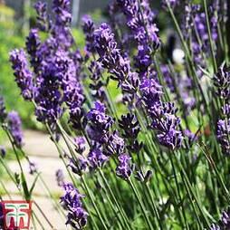 Lavender angustifolia 'Lady'