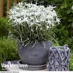 Leontopodium Berghman (Blossom of Snow)