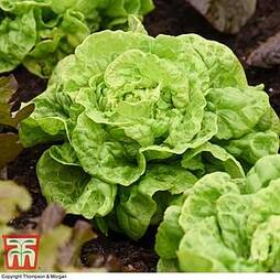 Lettuce 'Tom Thumb' (Butterhead)