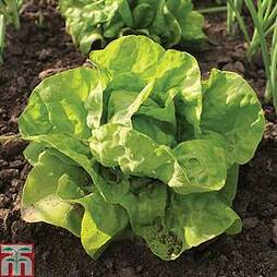 Lettuce 'All The Year Round' (Butterhead)