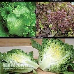 Lettuce Trio Collection