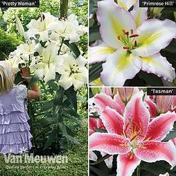 Lily Giant Flowered Collection