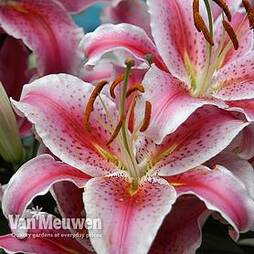 Tree Lily® 'Pretty Woman Red'
