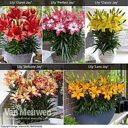 Lily 'Joy' Collection